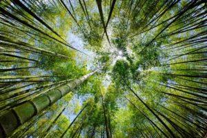 Bambus ist ein sehr schnell nachwachsender Rohstoff.